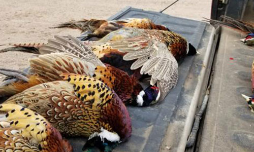 South Metro Pheasants Forever Pheasant Hunt